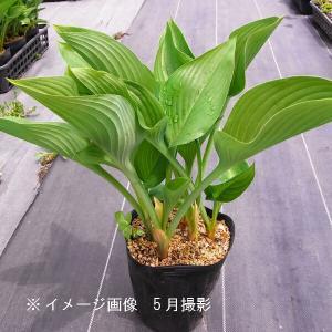ウルイ 15cmポット大株苗 山菜苗|shioukan-hanaya