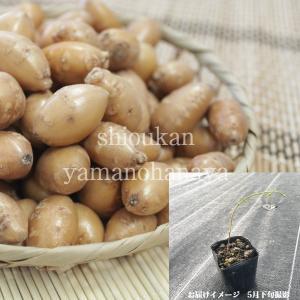 アピオス 9cmポット種芋仮植え苗100ポットセット 山菜苗【送料弊社負担】|shioukan-hanaya