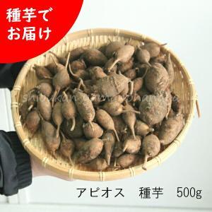 アピオス 種芋(素掘り苗)500g 山菜苗|shioukan-hanaya