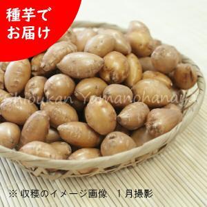 アピオス 種芋(素掘り苗)100kg 山菜苗【送料弊社負担】|shioukan-hanaya