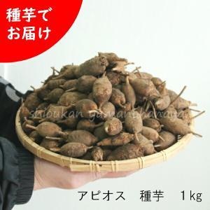アピオス 種芋(素掘り苗)1kg 山菜苗|shioukan-hanaya
