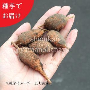 アピオス 種芋(素掘り苗)5個 山菜苗|shioukan-hanaya