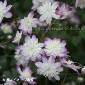 台湾バイカカラマツ 紫花系 7.5cmポット苗【新商品】【四季咲き性】|shioukan-hanaya