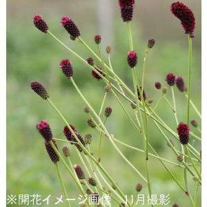 ワレモコウ 晩秋 10.5cmポット苗28ポット1ケース 山野草|shioukan-hanaya