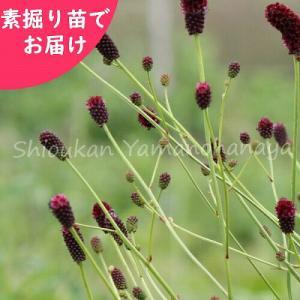 ワレモコウ 晩秋 素掘り苗5株 山野草|shioukan-hanaya