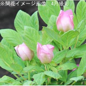 紅花ヤマシャクヤク 15cmポット仮植え苗 山野草 |shioukan-hanaya