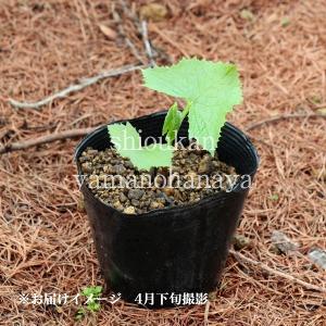 ボウナ 10.5cmポット仮植え苗 山菜苗|shioukan-hanaya|02