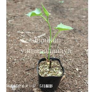 ボウナ 10.5cmポット仮植え苗 山菜苗|shioukan-hanaya|03