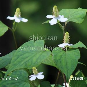 商品名:ドクダミ(どくだみ) 学名:Houttuynia cordata 別名:ドクダメ(毒溜め)、...