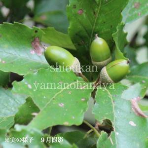 どんぐりの木 9cmポット苗|shioukan-hanaya
