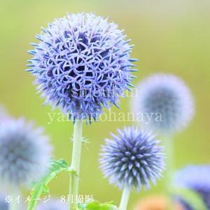 エキノプス ルリタマアザミ 10.5cmポット苗28ポット1ケース|shioukan-hanaya
