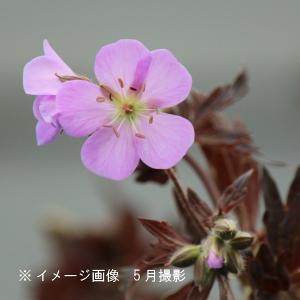 ゲラニューム エリザベスアン  15cmポット3株植え苗 宿根草|shioukan-hanaya