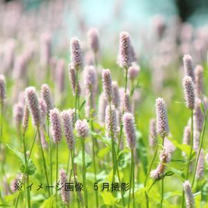 エゾイブキトラノオ 9cmポット仮植え苗 山野草  shioukan-hanaya