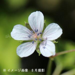ゲンノショウコ 9cmポット苗40ポット1ケース 山野草 |shioukan-hanaya