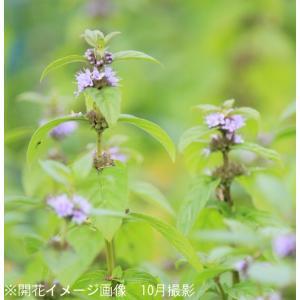 日本ハッカ 9cmポット苗2ポットセット  山野草 |shioukan-hanaya