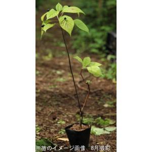 ハナイカダ 雄雌植え 10.5cmポット苗28ポット1ケース shioukan-hanaya