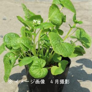 ハタケワサビ 15cmポット大株苗 山菜苗|shioukan-hanaya