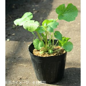 ハタケワサビ 18cmポット特大株苗 山菜苗 |shioukan-hanaya