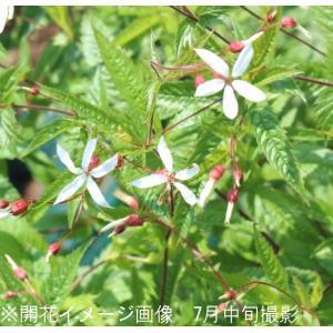 細葉ミツバシモツケ 9cmポット苗 山野草  |shioukan-hanaya
