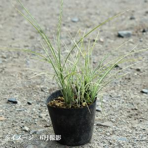 斑入り糸葉ススキ 10.5cmポット苗 |shioukan-hanaya