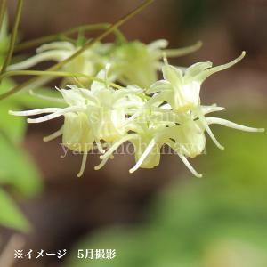 黄花イカリソウ 15cmポット苗 山野草 |shioukan-hanaya