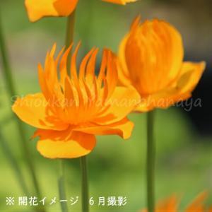 カンムリキンバイ 9cmポット苗 |shioukan-hanaya