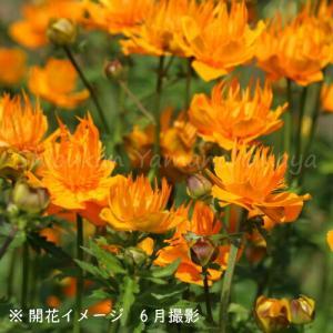 カンムリキンバイ 9cmポット苗 |shioukan-hanaya|02