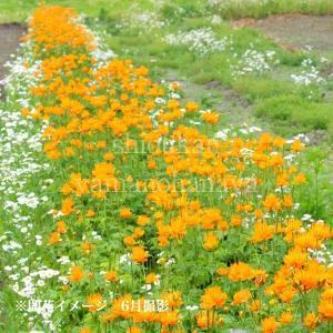 カンムリキンバイ 9cmポット苗 |shioukan-hanaya|03