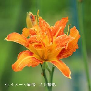 ヤブカンゾウ 10.5cmポット苗 山野草 |shioukan-hanaya