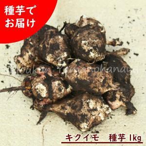 キクイモ種芋(素掘り苗)1kg(5〜10個程)|shioukan-hanaya