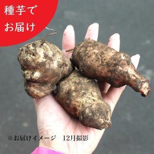 キクイモ 種芋(素掘り苗) 20個|shioukan-hanaya