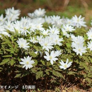 キクザキイチゲ 9cmポット仮植え苗 山野草