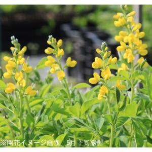 黄花センダイハギ 15cmポット大株苗 山野草 |shioukan-hanaya