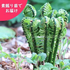 コゴミ 素掘り苗5株 山菜苗|shioukan-hanaya