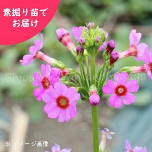 学名:Primula japonica(ぷりむらじゃぽにか) ※日本自生種 和名:九輪草(くりんそう...