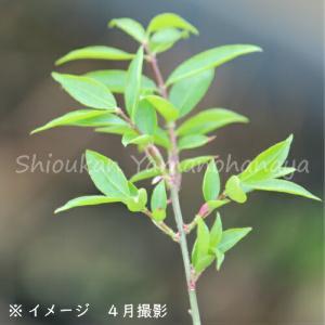 クロモジ 10.5cmポット苗|shioukan-hanaya