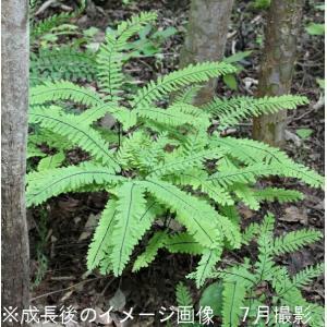 クジャクシダ 10.5cmポット苗28ポット1ケース|shioukan-hanaya