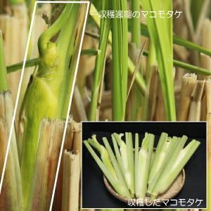 マコモタケ 12cmポット仮植え苗5ポットセット 山菜苗|shioukan-hanaya