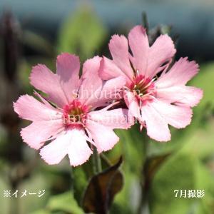 桃花マツモトセンノウ  9cmポット苗 山野草  |shioukan-hanaya