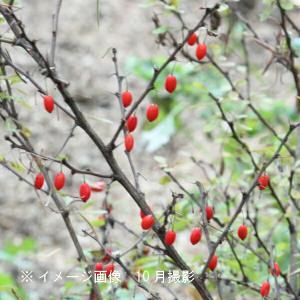 メギ 10.5cmポット苗|shioukan-hanaya