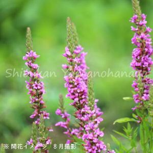 ミソハギ 15cmポット3株植え苗 山野草  shioukan-hanaya