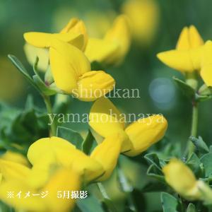 ミヤコグサ 9cmポット苗5ポットセット 山野草  |shioukan-hanaya