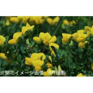 ミヤコグサ 9cmポット苗5ポットセット 山野草  |shioukan-hanaya|02