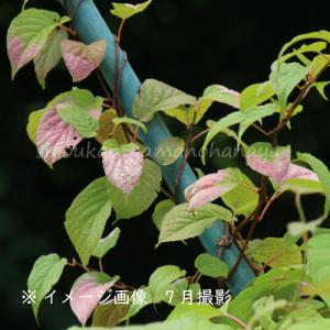 ミヤママタタビ 10.5cmポット雌木苗|shioukan-hanaya