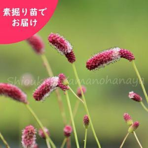 ワレモコウ 濃色長穂赤花 5株 山野草|shioukan-hanaya