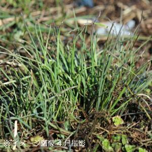 紫桜館 山の花屋 - ノビル 9cmポ...