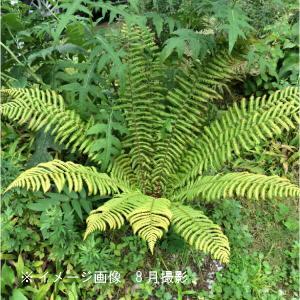 オシダ 12cmポット大株苗 山野草|shioukan-hanaya
