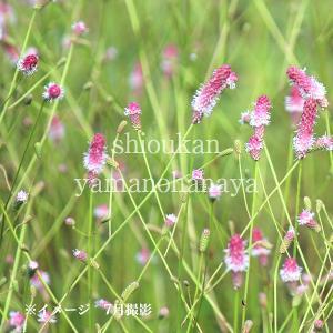 ワレモコウ ピンクタンナ 9cmポット苗 宿根草  |shioukan-hanaya