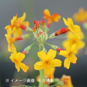 学名:Primula chungensis(ぷりむらちゅんげんしす) 和名:九輪草(くりんそう) 【...