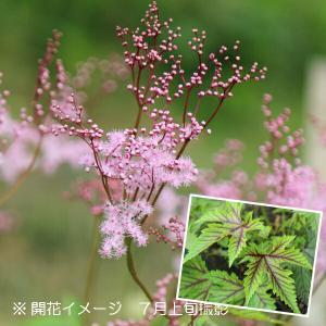 チシオシモツケ(レッドアンブレラ) 9cmポット苗 山野草